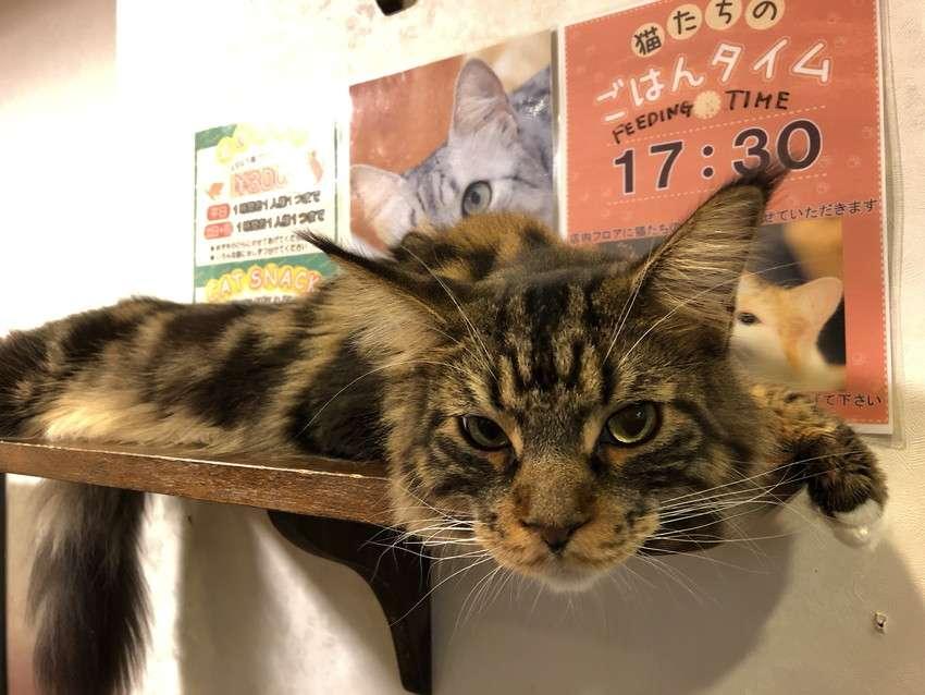 きゃりこ新宿店の猫5