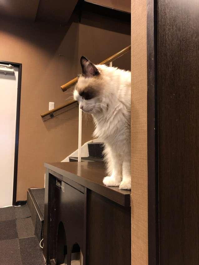 きゃりこ新宿店の猫7