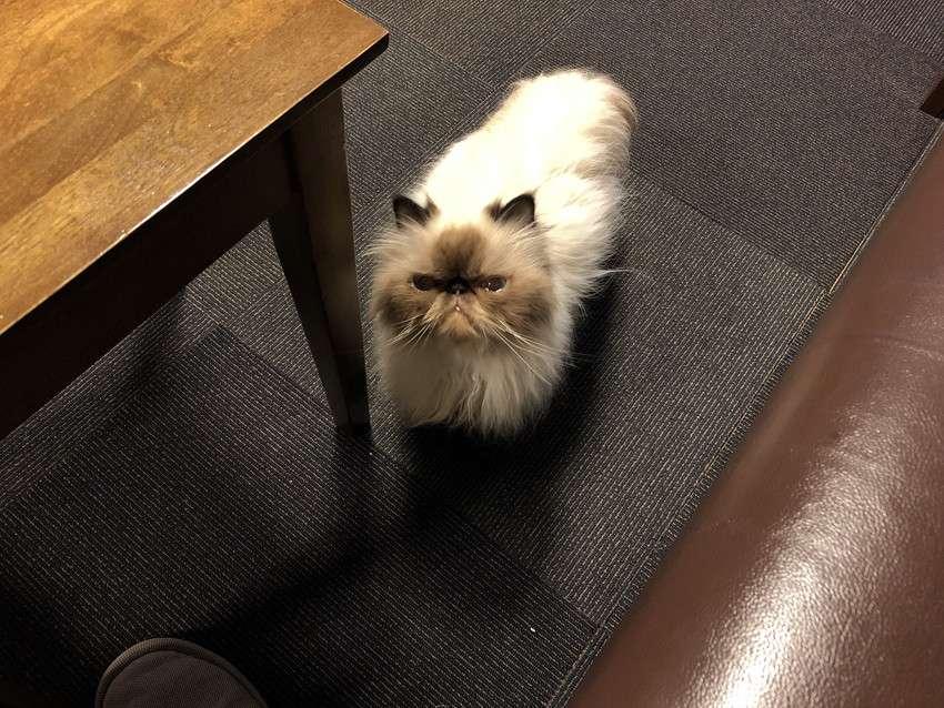 きゃりこ新宿店の猫14