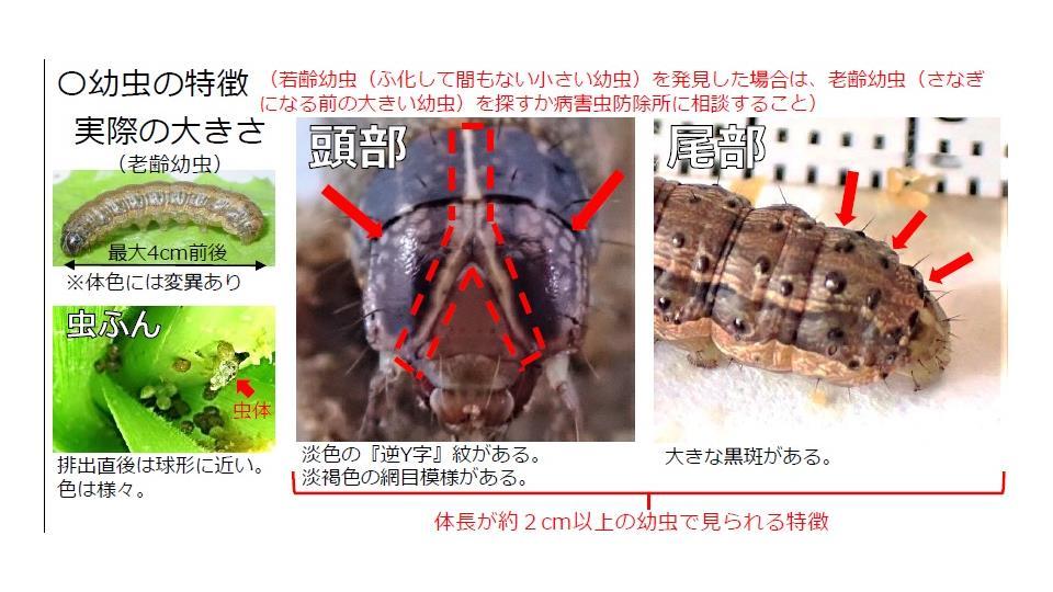 ツマジロクサヨトウ 幼虫