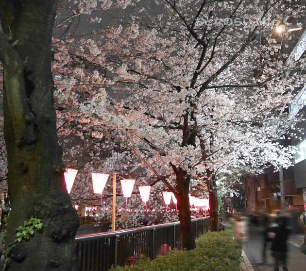 目黒川の桜 オフィスビルの近くは明るくて夜でも綺麗