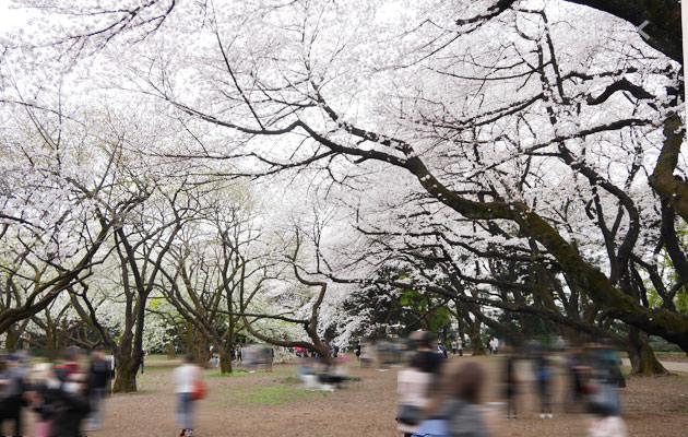 千駄ヶ谷門近くに桜の木が沢山ある