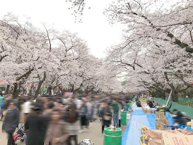 上野恩賜公園 桜並木が続いている様は圧巻