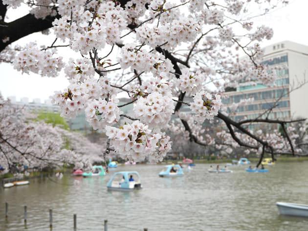上野 不忍池 桜越しに見たボート