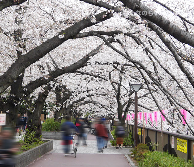 中目黒から目黒までの歩道 桜並木のアーチ