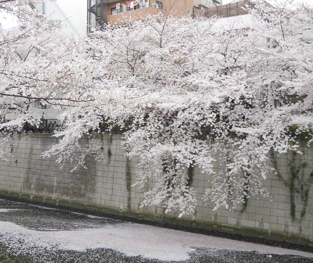 目黒方面の方が桜の木の大きさも勝っている