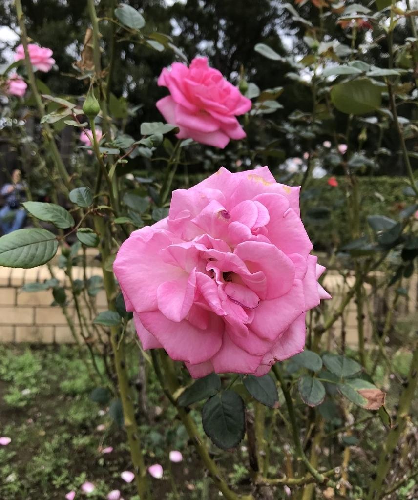 柏の葉公園のバラ園に咲く可憐な花