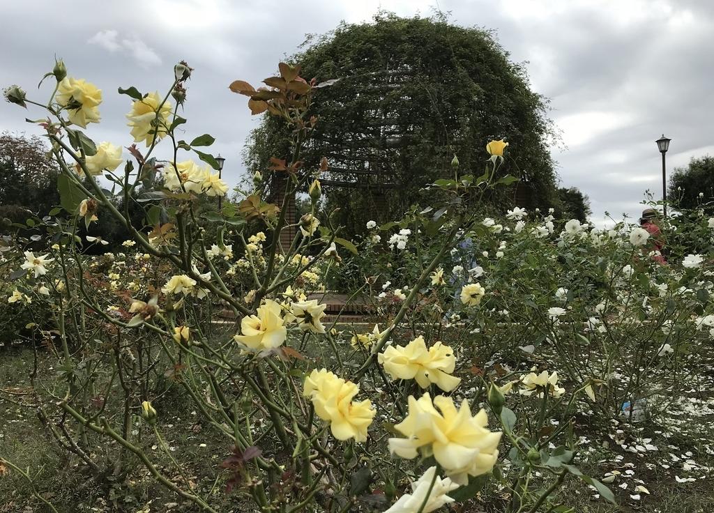 柏の葉公園のバラ園に咲く黄色の花