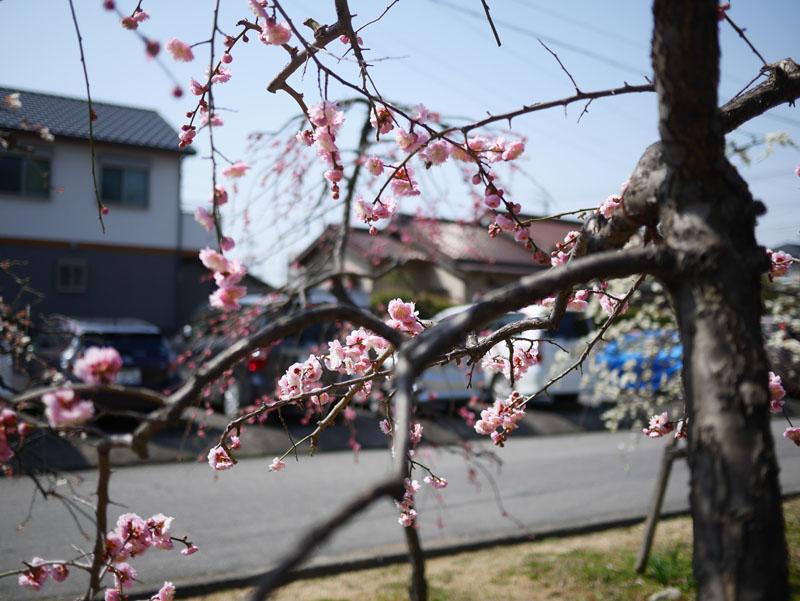 科学館近くの公園の梅