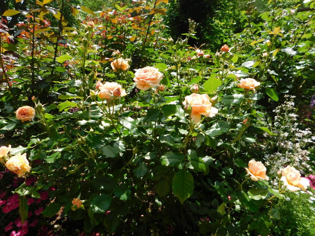 神戸布引ハーブ園、おもてなしの庭の薔薇