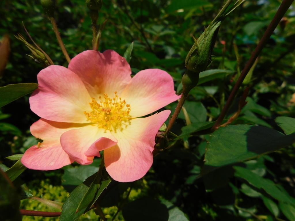 ローズシンフォニ―ガーデンの一重の薔薇