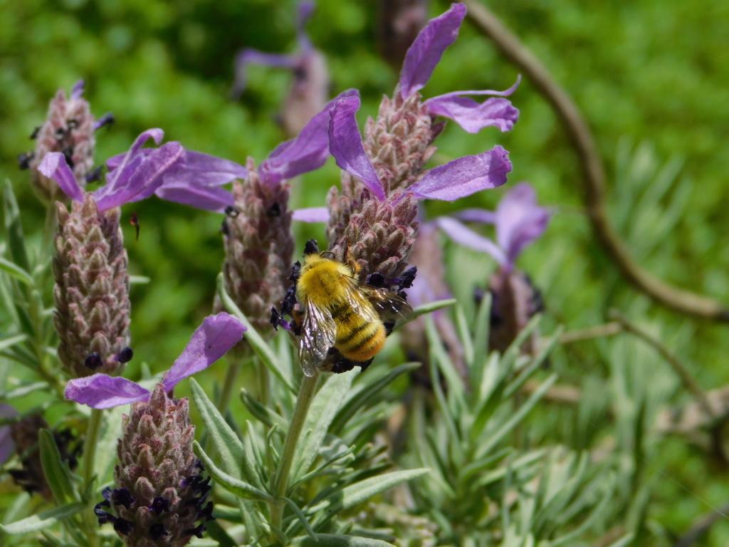 ラベンダーと美蜂
