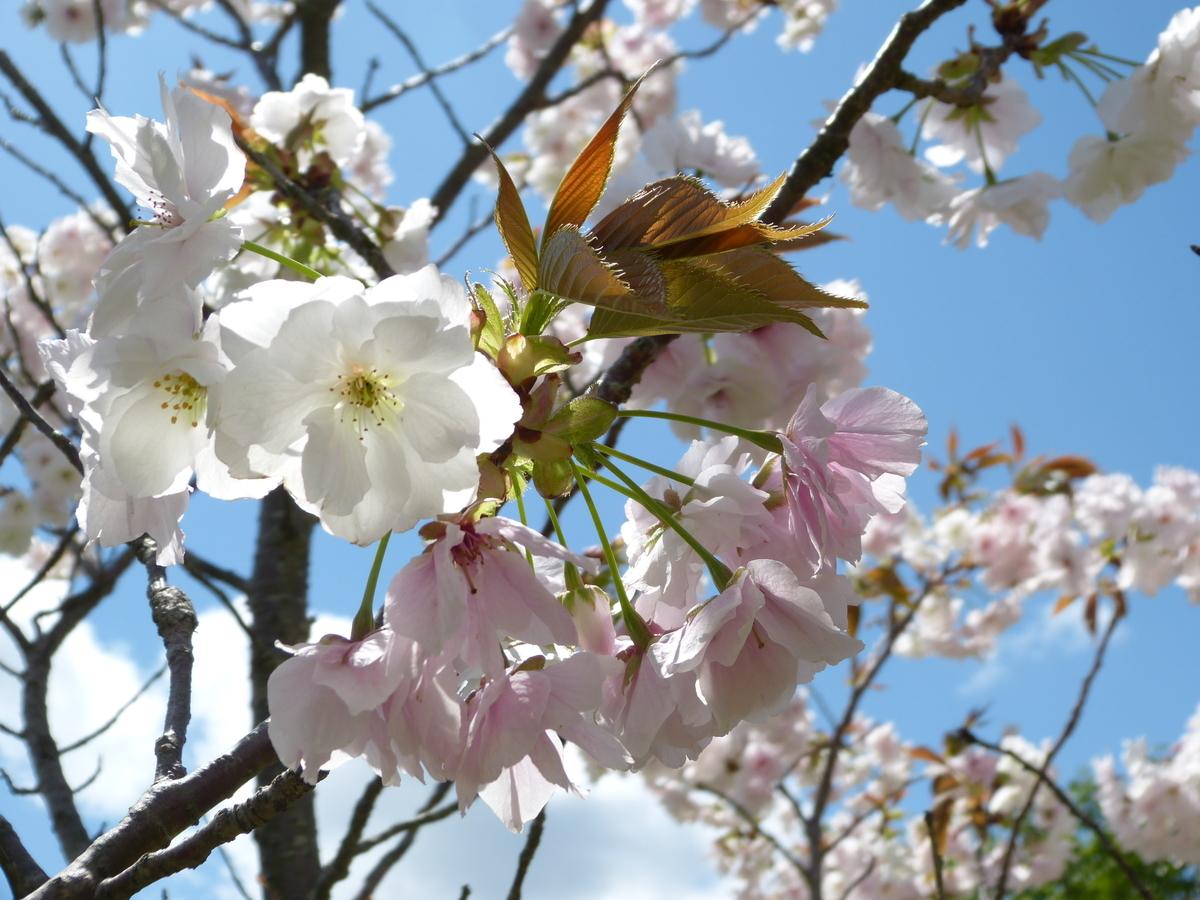 GWの山桜