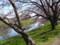 4/5朝イチの桜