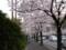 4/10地元駅前の桜並木