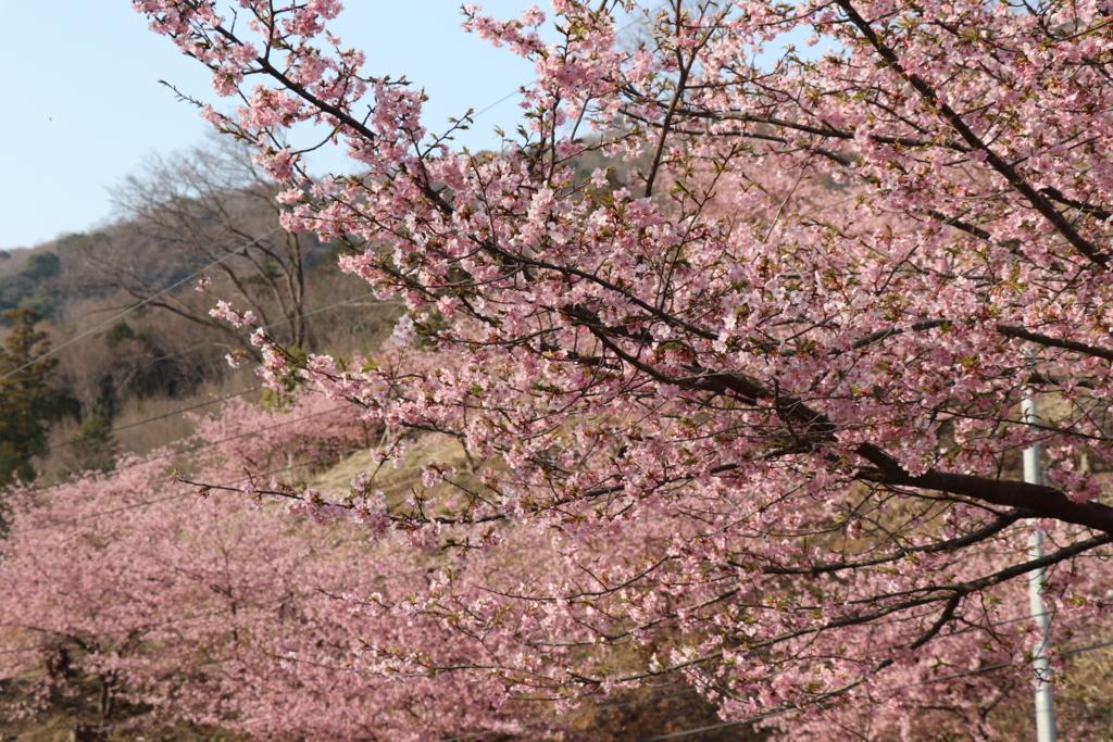雨引観音の河津桜