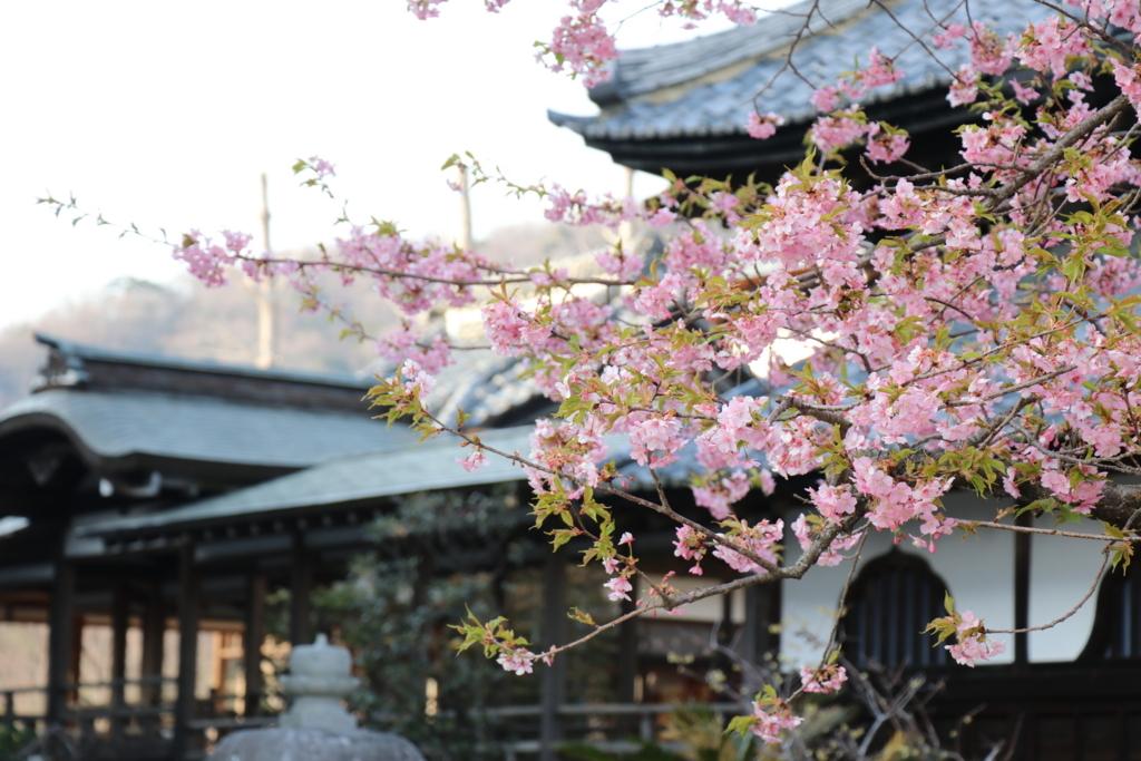 境内の桜の様子