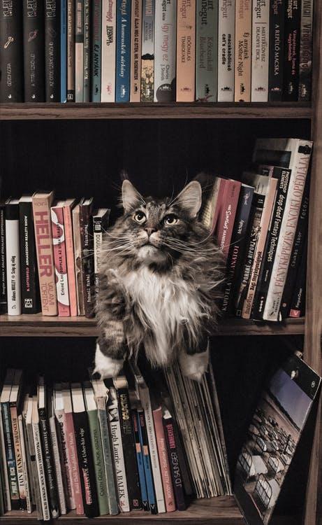 本棚に佇む猫