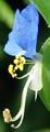 [花][露草]露草