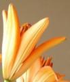 [花][百合]百合