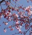 [花][桜][笑顔届け隊!]桜