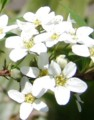 [花][雪柳]雪柳
