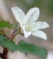 [花][きいちご]きいちご
