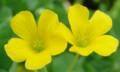 [花][かたばみ][笑顔届け隊!]かたばみ
