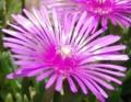[花][マツバギク]マツバギク