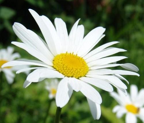 マーガレット (植物)の画像 p1_22