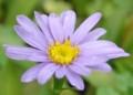 [花][朝鮮紫苑]朝鮮紫苑