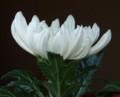 [花][菊]菊白