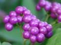[花][紫式部]紫式部実