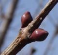 [木の芽]木の芽