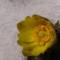 雪の中の福寿草
