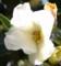 花芯の不完全な白椿