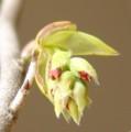 [花][木の芽][水木]木の芽