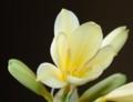 [花][君子蘭][笑顔届け隊!]君子蘭黄色