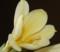 君子蘭黄色