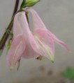 [花][おだまき][笑顔届け隊!]おだまきピンク