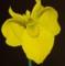 黄しょうぶ