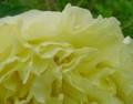 [花][ぼたん]黄色ぼたん