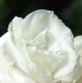 [花][とるこききょう][笑顔届け隊!]とるこききょう