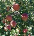 [りんご]りんご