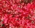 [花][どうだんつつじ]どうだんつつじ紅葉