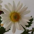 [花][菊]小菊白