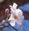 [花][冬桜]冬桜