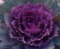[花][はぼたん]はぼたん