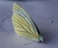[蝶]スジグロシロチョウ