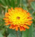 [花][コウリンタンポポ]コウリンタンポポ